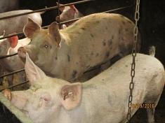 Da sind Schweine©Kindergarten Tausendfüßler