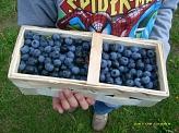 lecker Blaubeeren©Kindergarten Tausendfüßler